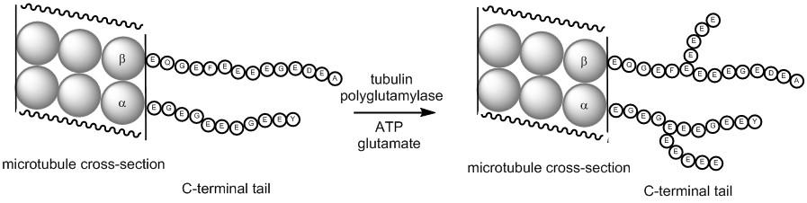 tubulin-fig-web-page